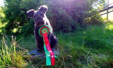 Liten hund, stor rosett. Maja svensk champion