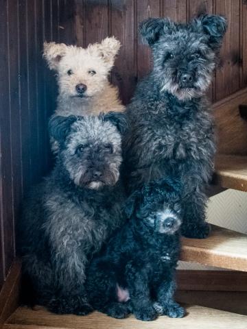 4 pumi i en trappa